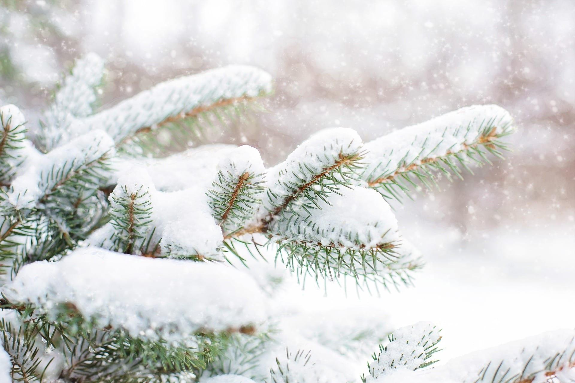 Pretty snow on pretty pine tree