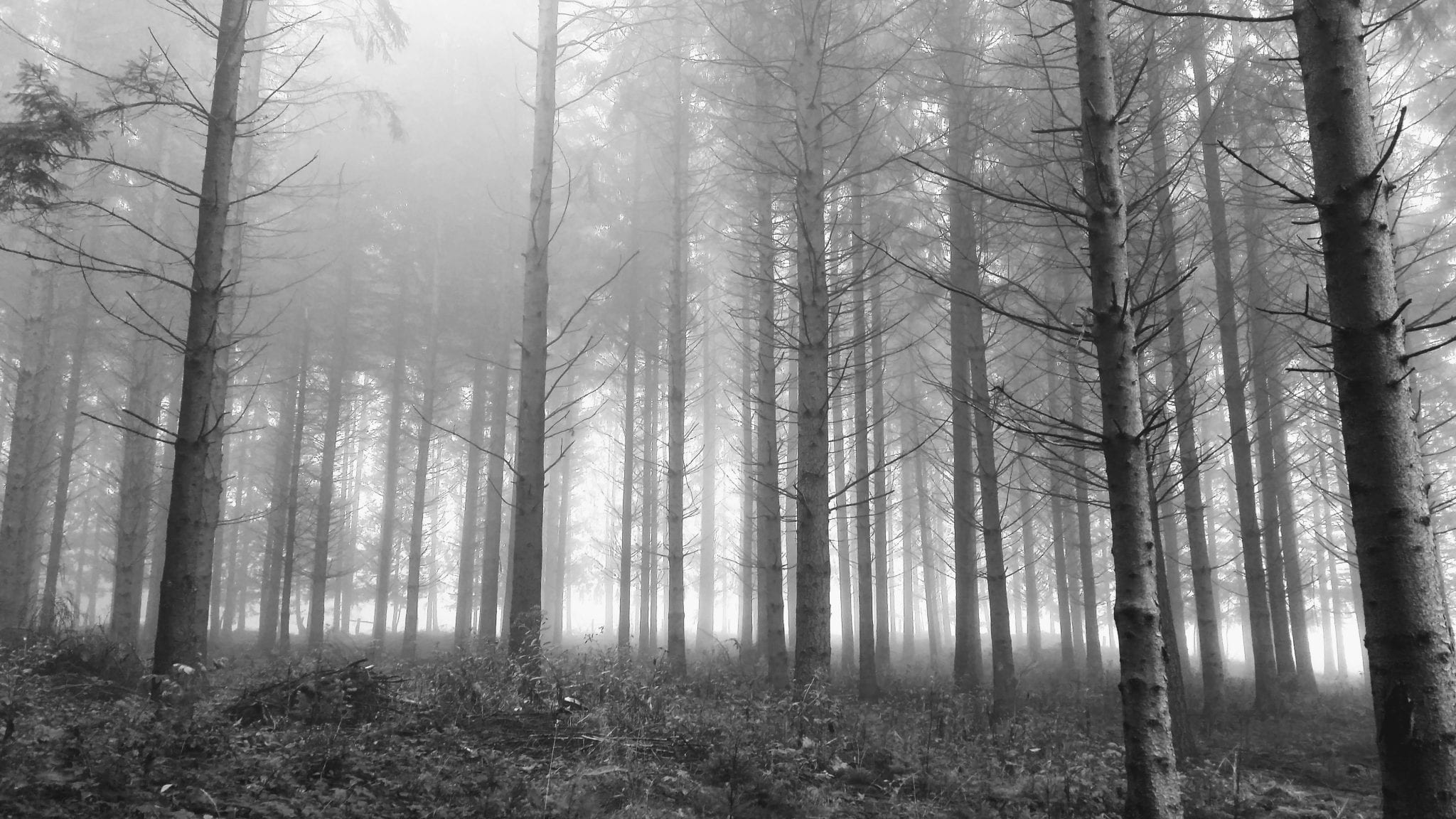 Misty forest in black and white